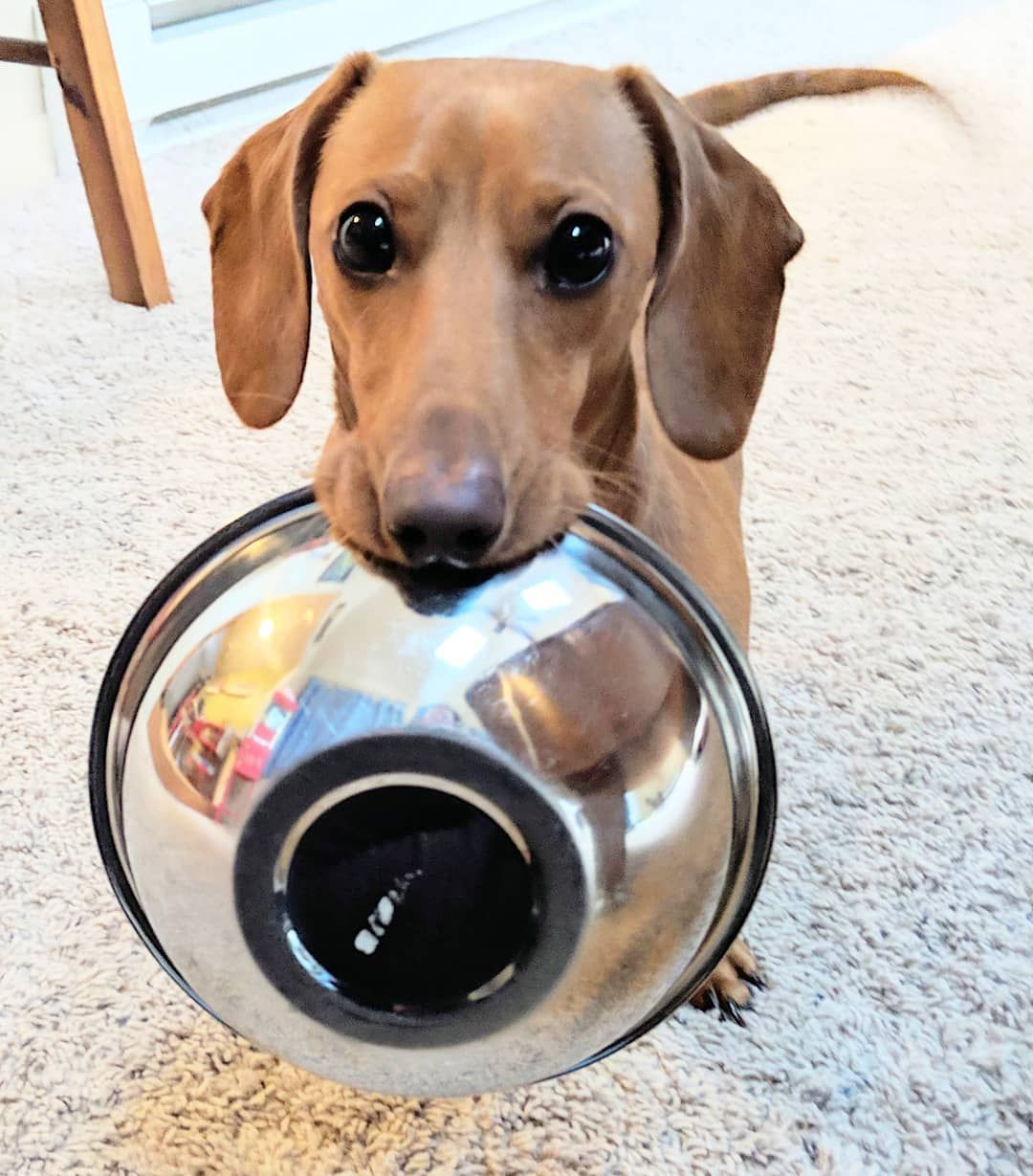 Feed The Poor Dogstagram Doglovers Dachshund
