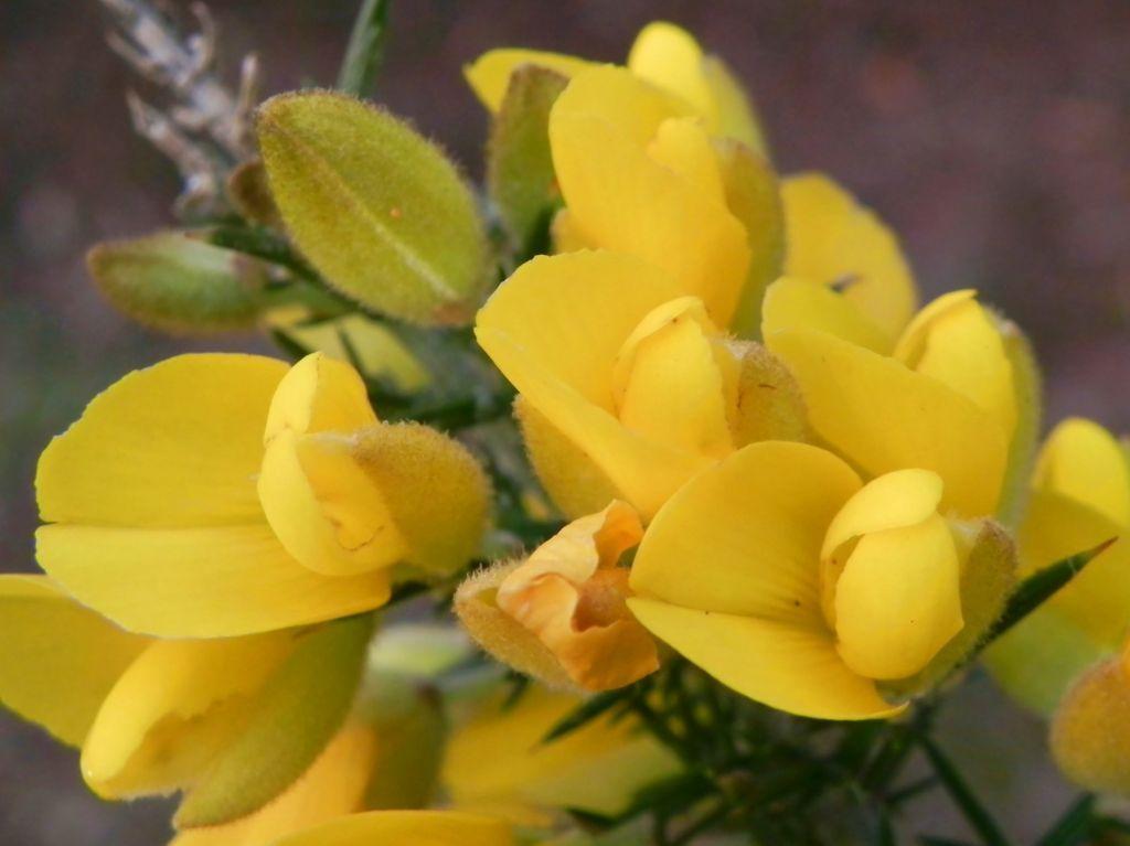 Bristly Bush Pea Strauch Blüte gelb Pultenaea Acerosa