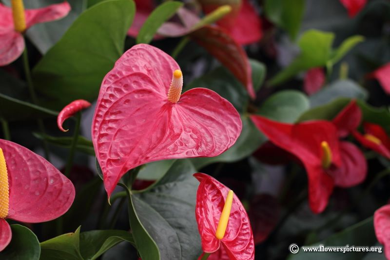 Anthurium Flower 63 With Images Anthurium Flower Beautiful Flowers Pictures Anthurium