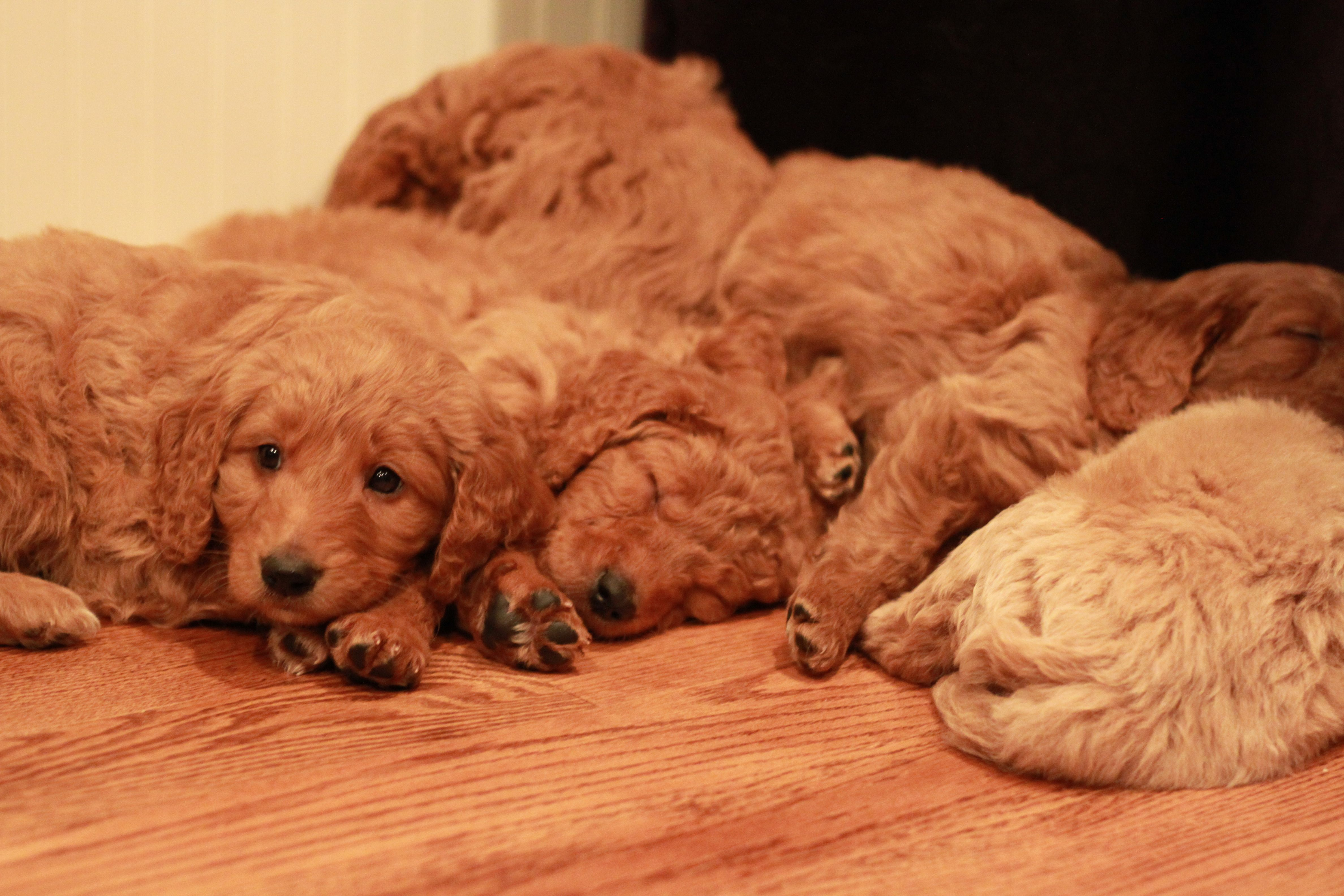 Goldendoodle puppy pile from red