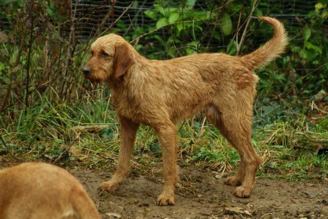 Fauve de Bretagne | wire haired hunting dogs | Griffon dog ...