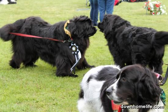 Rescued Newfoundland Dogs Honoured At Dog Show Posted From Website Http Www Downhomelife Com Submissions Php Itemid 66466 Newfoundland Dog Newfoundland Dogs