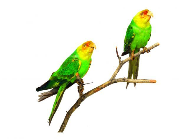 carolina parakeet - Google Search