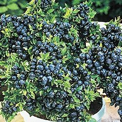 Top Hat Patio Blueberries From Gurney Nice Compact Inches High) Big  Producer For Deck, Patio,, Even Indoor Under Right Conditions Blueberry  Source