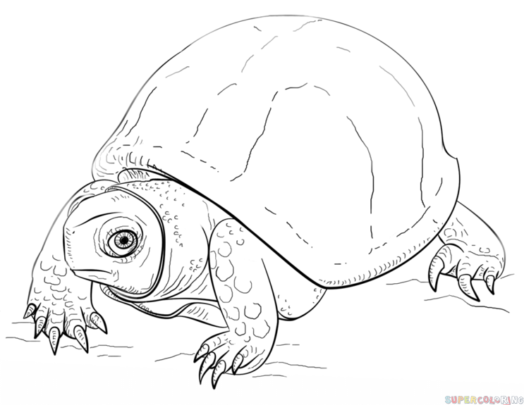 How to draw an Ornate Box Turtle Step by step Drawing tutorials