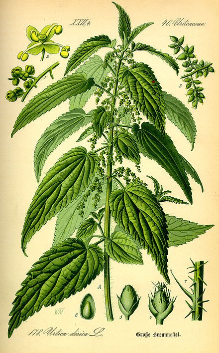 Urtica dioica - Wikipedia, the free encyclopedia