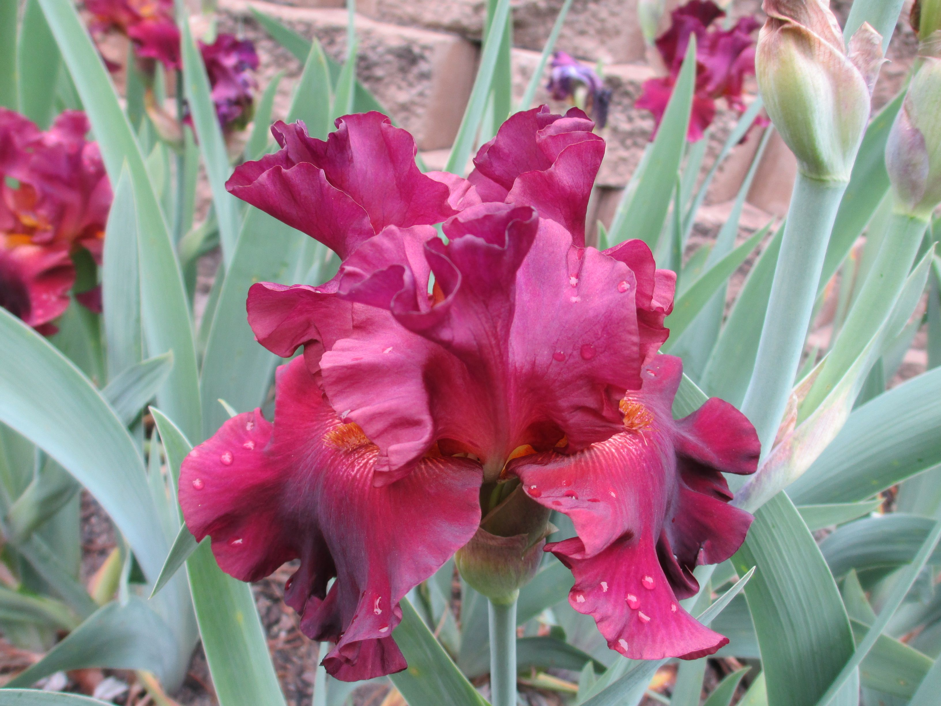 RIP CITY - BEARDED IRIS. Available for the first time this year. A rich carmine red that blooms early for us. Very good increase plus good branching and bud count too!  #beardediris