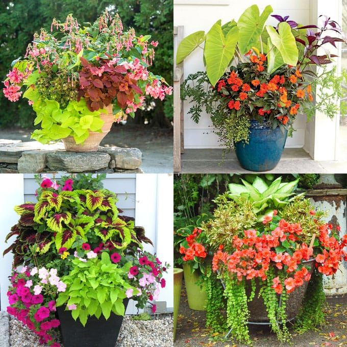 Coleus Lover's Guide ( Grow Tips, Easy Propagation, & Beautiful Varieties )