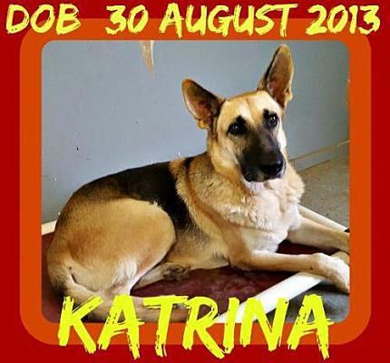 Jersey City Nj German Shepherd Dog Meet Katrina A Pet For