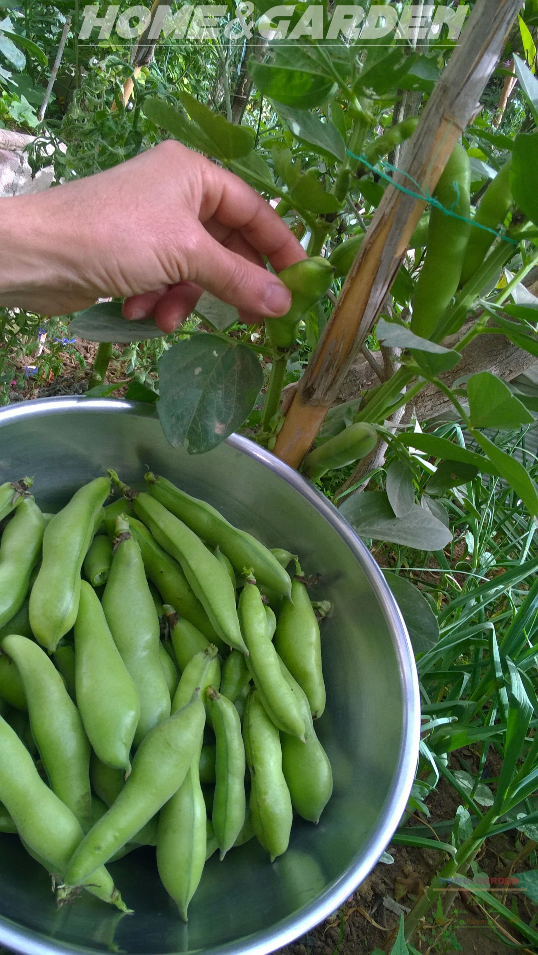 How To Grow Broad Beans Fava Beans Broad Bean Organic 400 x 300