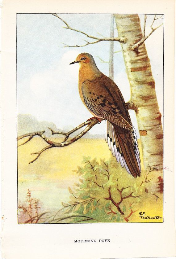 1926 bird print - mourning dove - vintage antique natural history
