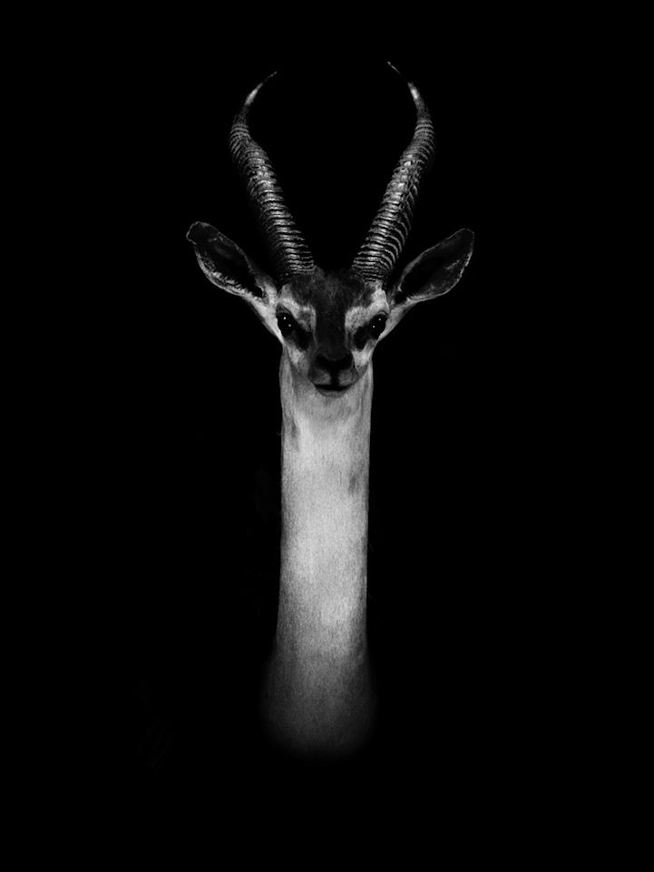 Dramatic Black And White Portraits Of Exotic Animals Exotic - Breathtaking black and white animal portraits by lukas holas