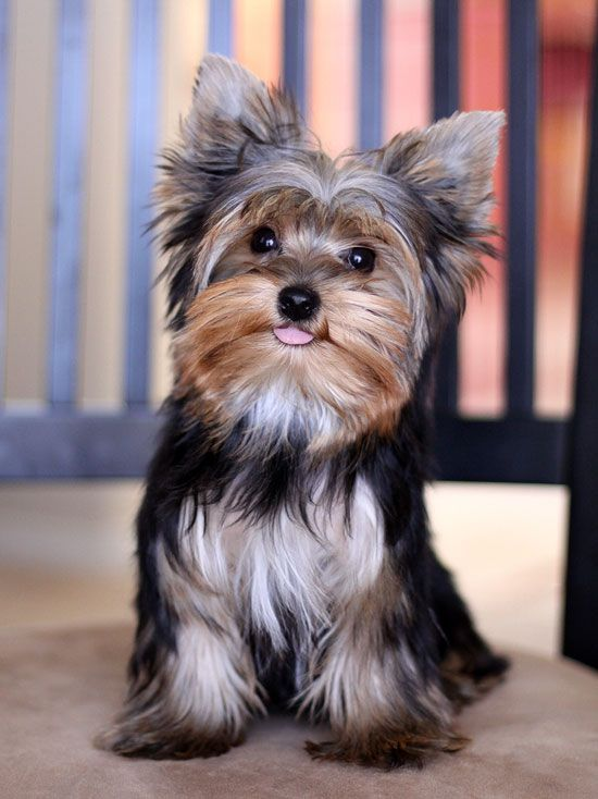 Pixie #yorkie #puppy