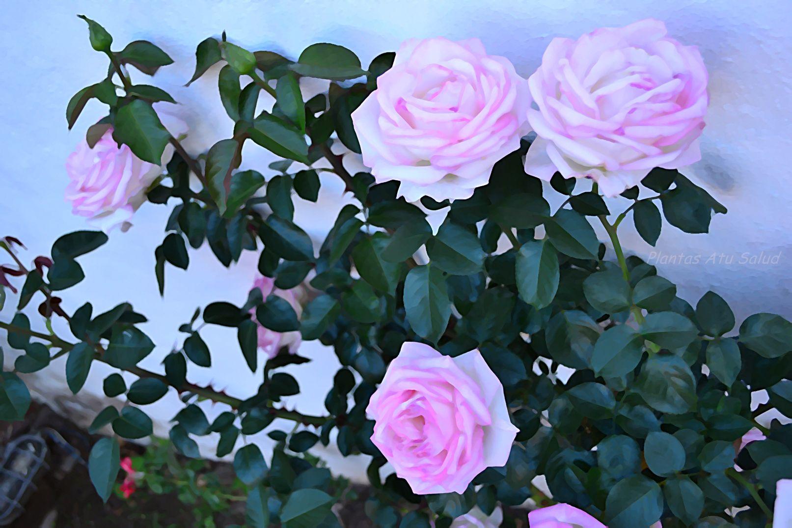 http://plantasmedicinalesatusalud.blogspot.com.ar/2015/03/consultas-de-lectores.html