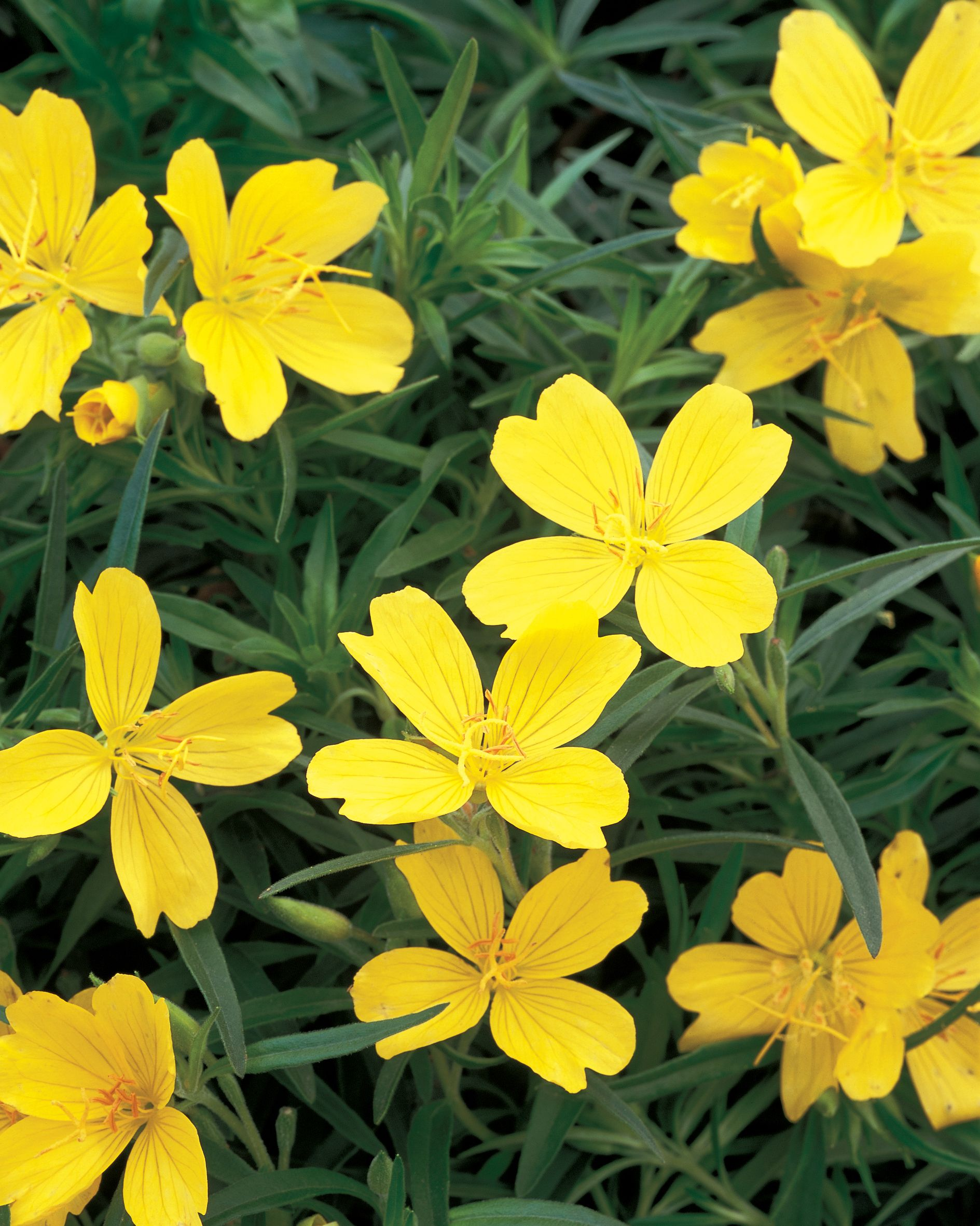 lemon drop is very heat tolerant and the petite yellow blooms