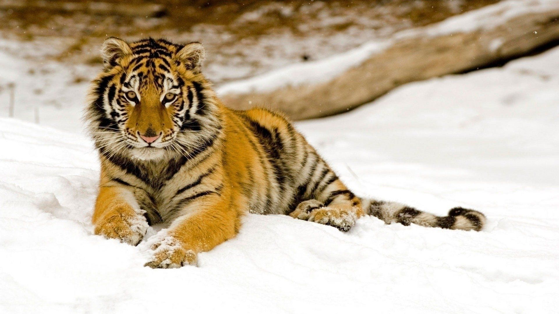 tiger wallpapers collection for free download | hd wallpapers