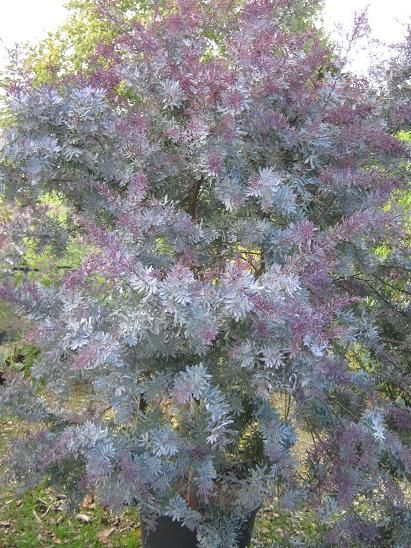 Pin By Laurie Stone On Landscape Plans Acacia Baileyana Trees To