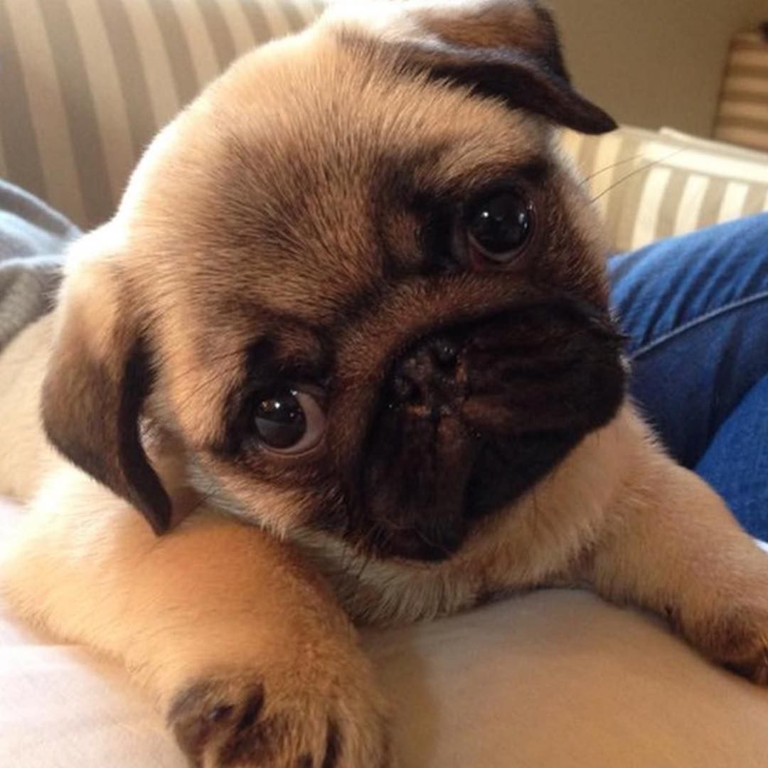 """Puppy on Instagram: """"Am I cute?  Photo by @chickopug"""""""