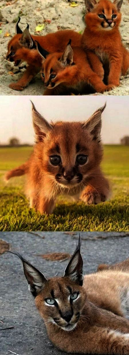 This Wild Cat Is Called A Caracal is the highest longest