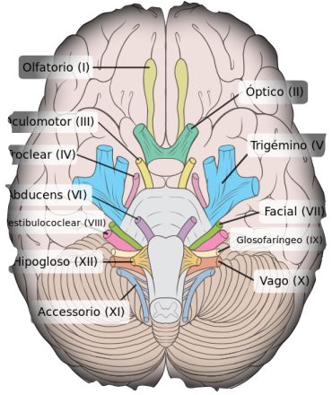 nervios craneales - Buscar con Google | sistema nervios | Pinterest ...