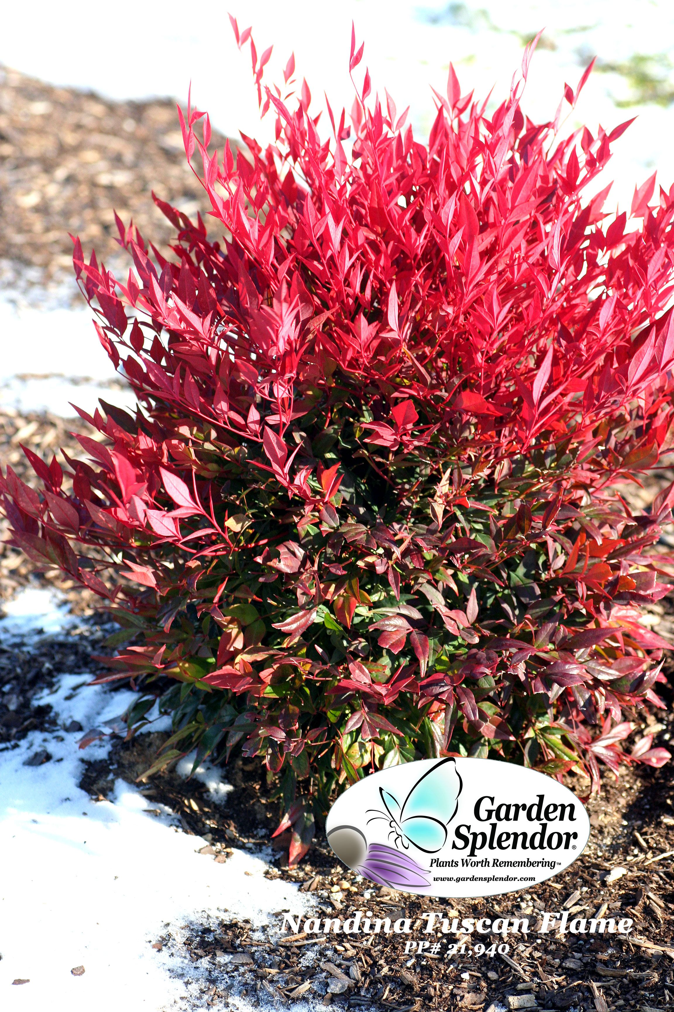 Nandina 'Tuscan Flame' (Heavenly Bamboo) with it's bright colorful evergreen foliage looks wonderful at any time of year, but just look how spectacular it looks in the winter landscape.   It positively glows against a snowy backdrop. Hardy in Zone 6 (and warmer), it is easy to grow and virtually maintenance free. For longest and most effective display grow in sunny or partially shaded sites and avoid open exposed positions.     Look for it at Garden Splendor centers  More…