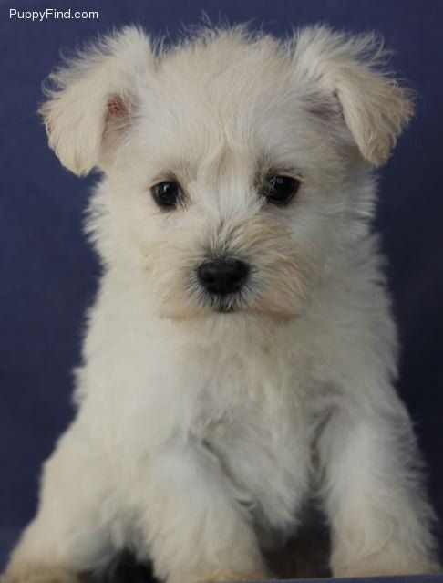Schnoodle Pictures Dwpf81t3570 Schnoodle Schnoodle Puppy Puppies
