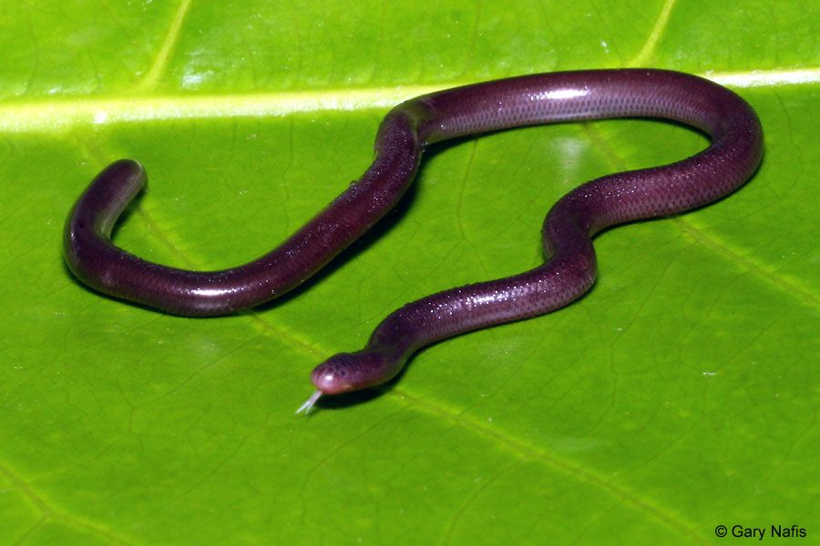 Pin By Lily Boyd On Snakessssss Snake Beautiful Snakes Colorful Snakes