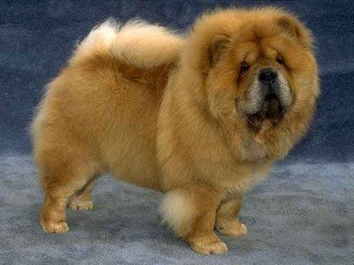 Chow Chow Is A Stocky Dog With Broad Skull And Small Rounded Ears