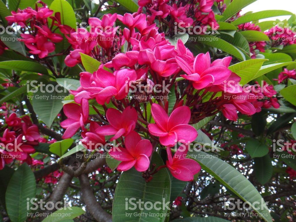 Spanish Jasmine Pink Flowers