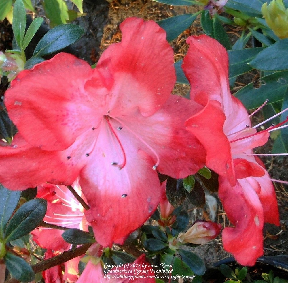 Rhododendron Fascination Azalea 4 6 Tall And Wide Part Sun Shade Tuin