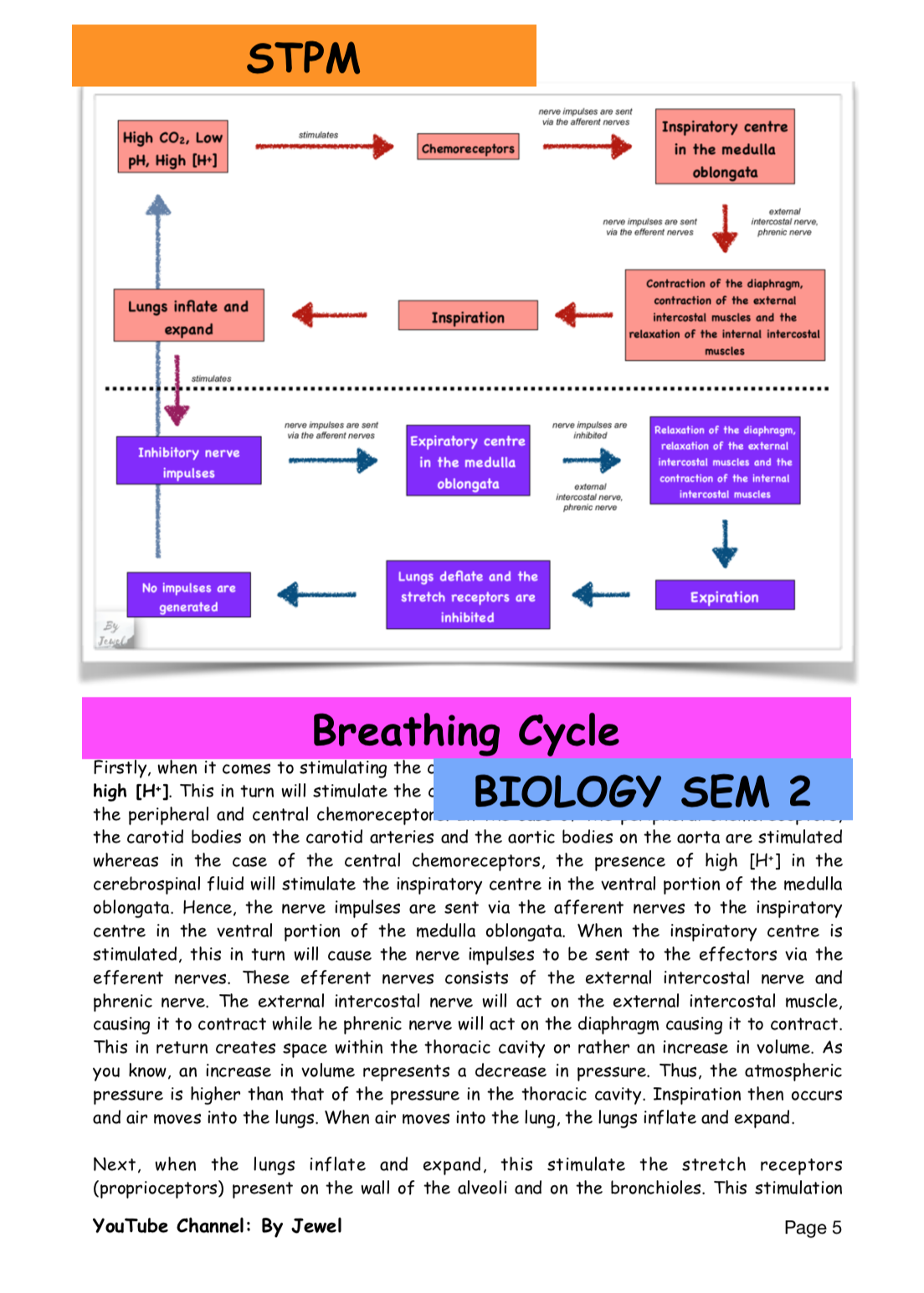 Breathing Cycle Cycle Respiratory System Stimulation