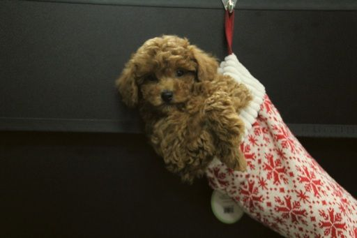 Poodle Toy Puppy For Sale In Portsmouth Oh Adn 53283 On