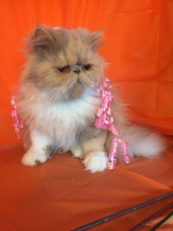 Persian Cats For Sale Modesto Ca Persian Cats For Sale Persian Princess Persian Cat