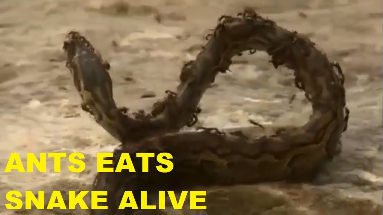 Pin on ants eats snake alive