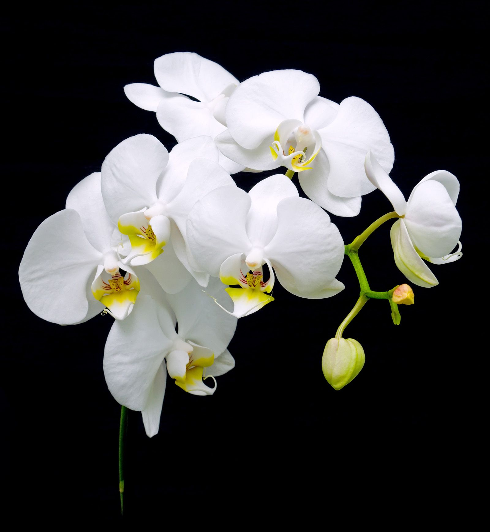 Black Background With White Orchid 52015 Flowers Photo Flowers White Orchids Orchids Orchid Wallpaper