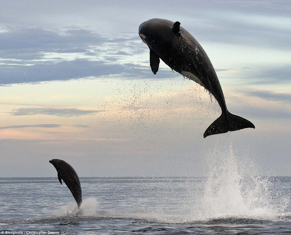 8 ton orca jumps 15 feet in the air chasing after dolphin - Imgur