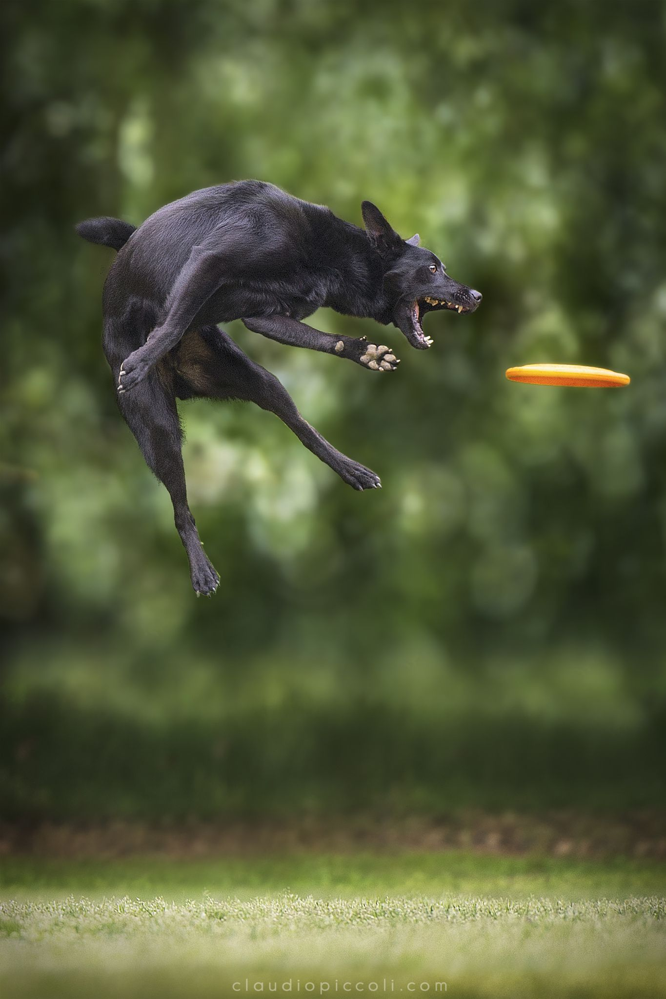 Kelpie Style - A Kelpie during a Disc Dog training session