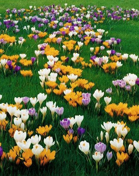 Small spring flowers crocuses coloring yard landscaping and garden small spring flowers crocuses coloring yard landscaping and garden design gardenoasis pinterest beautiful flowers flower and gardens mightylinksfo