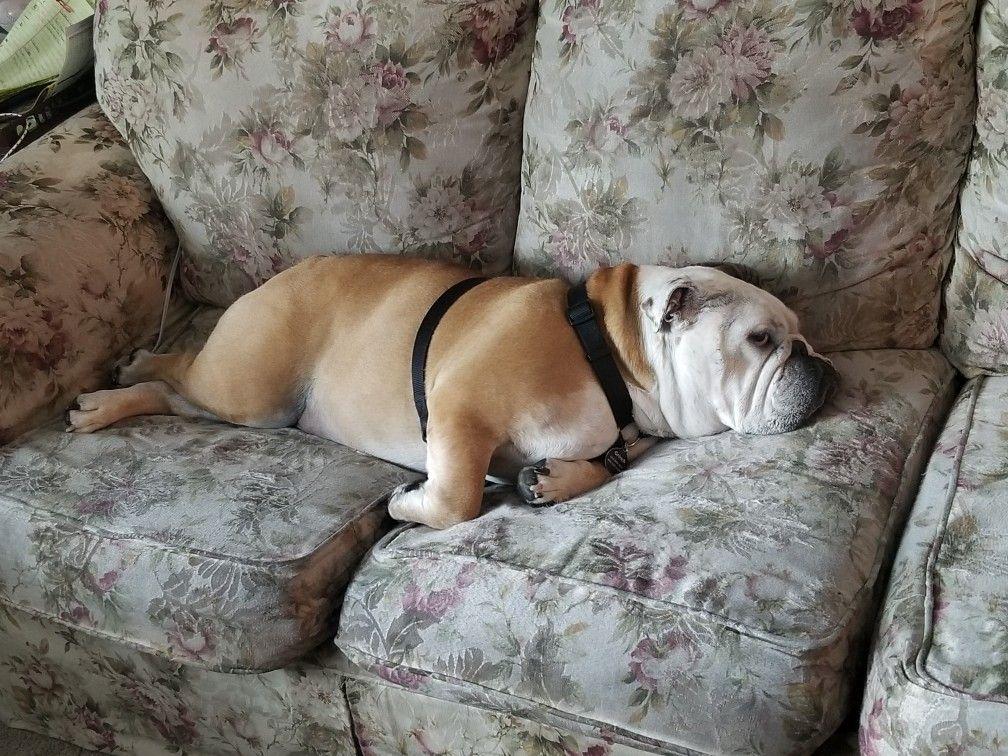 Im over it english bulldog bulldog french bulldog
