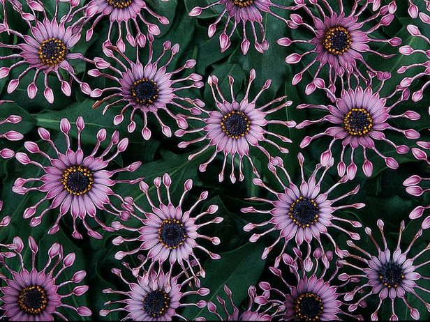 """Osteospermum (""""African Daisies"""") - LOVE these flowers!  Can't find them  :(  even on the web.  Yes, they are as cool as they look."""