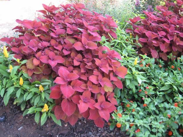 Campfire Coleus Features Dark Red Orange Foliage That Glows