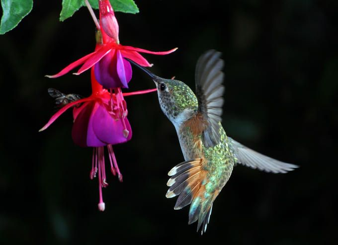 Allen S Hummingbird Fuschia Photo By Photographer Tm J Hummingbird Fuchsia Flower Vibrant Flower