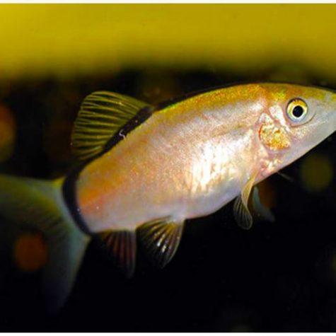 Gold Dojo Loach In 2020 Aquatic Garden Aquarium Fish Planted Aquarium