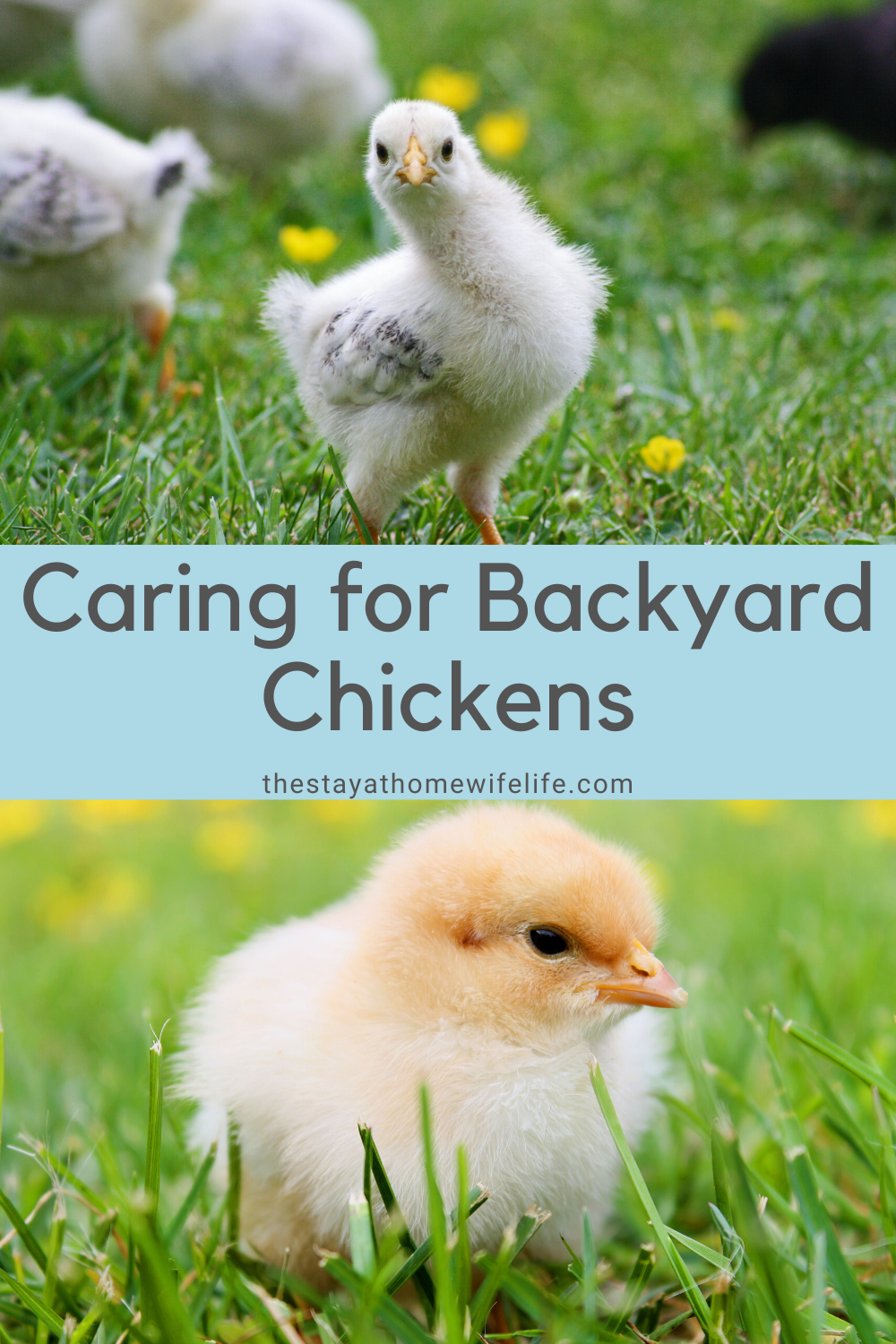 Caring for Backyard Chickens in 2020 | Chickens backyard ...