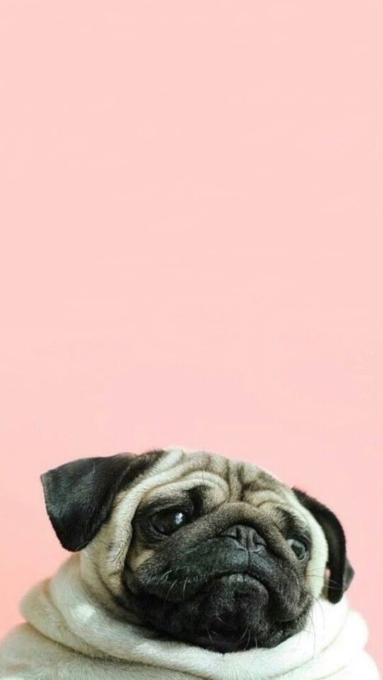 Pug Wallpaper I Just Love It Cățeluși