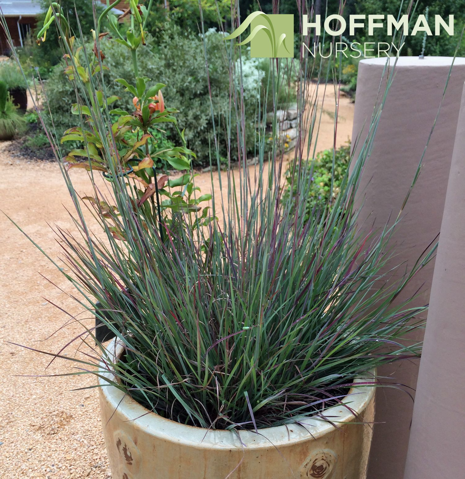 We love this container at the North Carolina Botanical Garden that uses Blue Heaven® Little Bluestem. Taken in early August, the foliage is starting to get ...