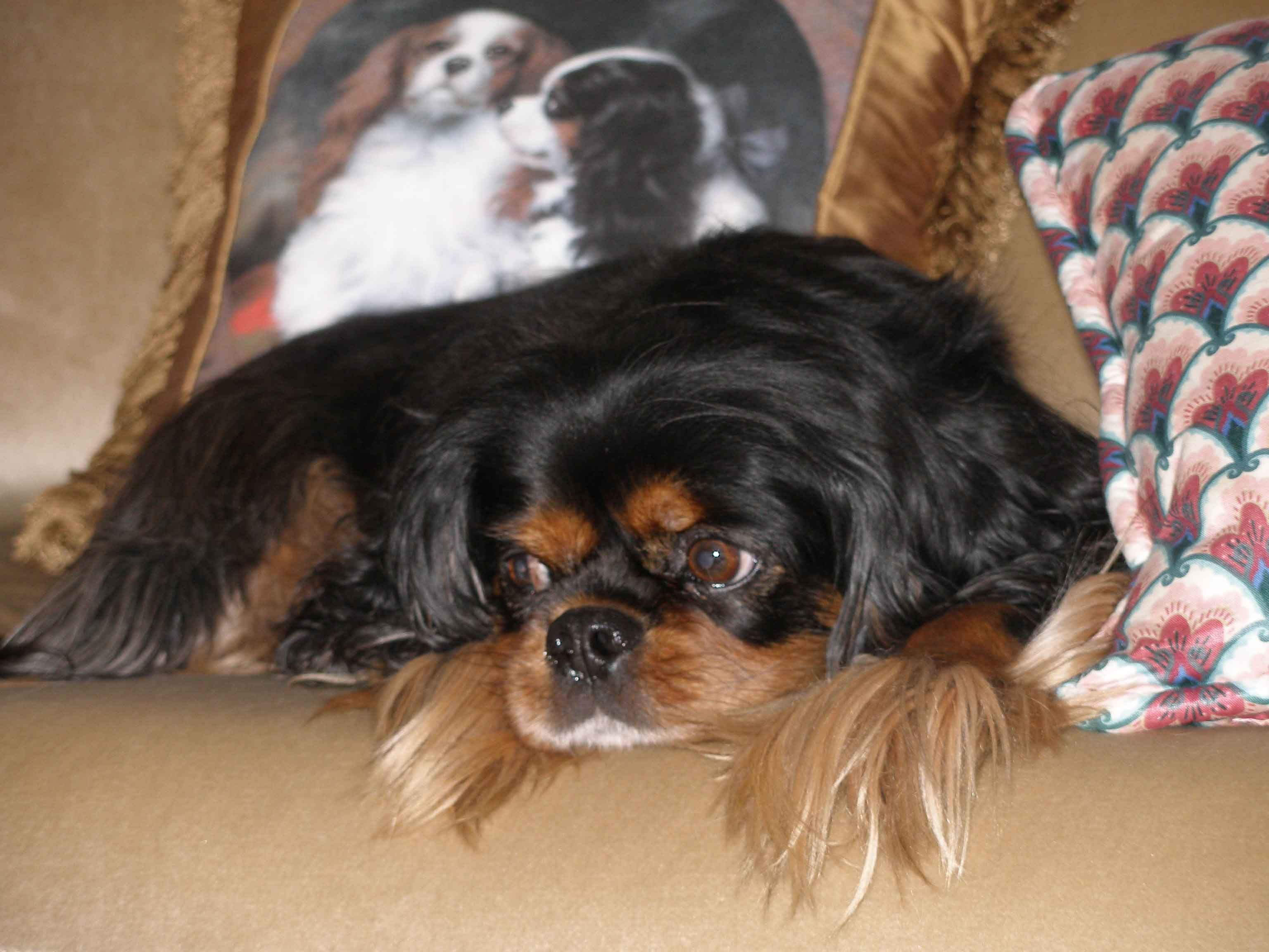 Cavalier King Charles Spaniel Black Tan The Top Ten Questions To Ask A Caval Cavalier King Charles Dog King Charles Dog King Charles Cavalier Spaniel Puppy