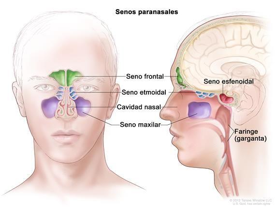 Anatomía de los senos paranasales; el dibujo muestra vistas ...