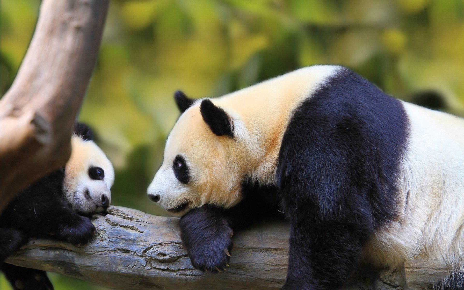 Nature Animal Bird National Geographic Panda Forest Baby Green Hd Wallpapers Wallpaper 1920x1200 237068 W Baby Panda Pictures Panda Bear Panda Wallpapers