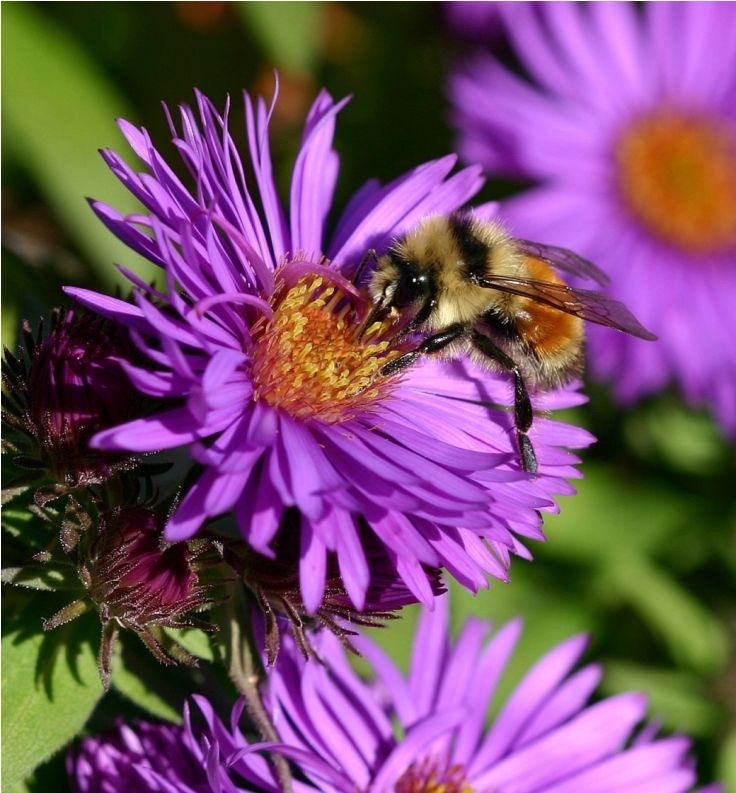 Aster Is Important For Honeybees To Feed In Order To Get Through The Winter Months As It Provides Late Food This Is Because Aster Flow Bee Bee Garden Plants